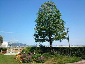 屋上花壇シンボルツリー