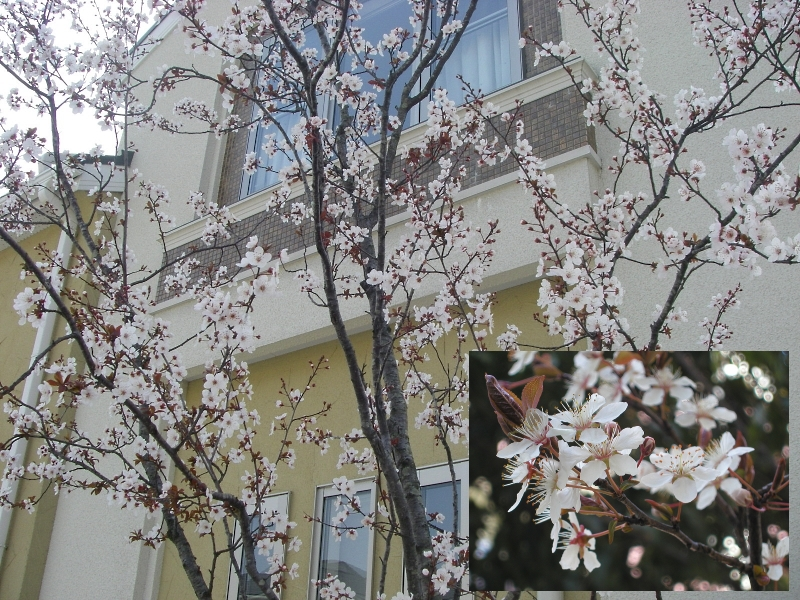 ベニスモモ花